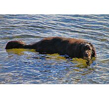 'Walter the Water Dog' Photographic Print
