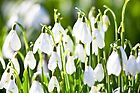 Woodland Snowdrops by wildscape