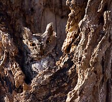 Screech Owl by Gashphotography