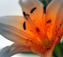 Lily by Jillian Bell