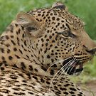 Leopard by Alexa Pereira