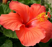 hibiscus by Linda  Makiej