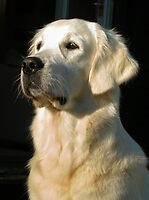 Ditte - Golden Retriever by Trine