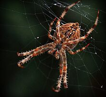 Araneus Diadematus by Alex Boros