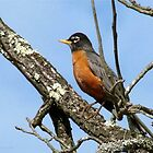 American Robin, Harbinger Of Spring by Jean Gregory  Evans