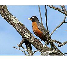 American Robin, Harbinger Of Spring Photographic Print