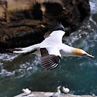 Gannet over Muriwai by Rob Dickinson