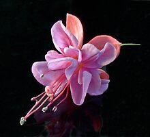 Fuchsia -- Heidi Ann IV by Tom Newman