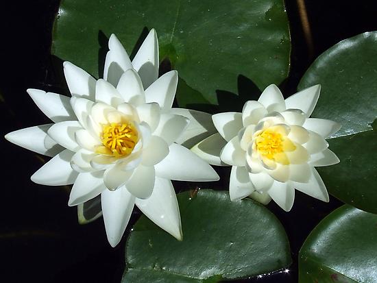Sirius Flowers by Paul Todd