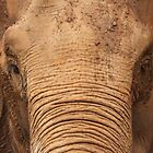 Asian Elephant by Steve Bullock