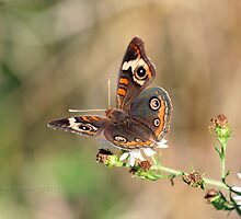 Perfectly Posed Buckyeye Butterfly by Terry Aldhizer