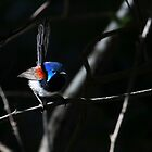 Variegated Fairywren (Malurus lamberti)  by Normf