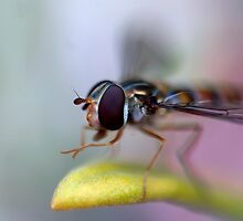 Hoverfly by gazbart
