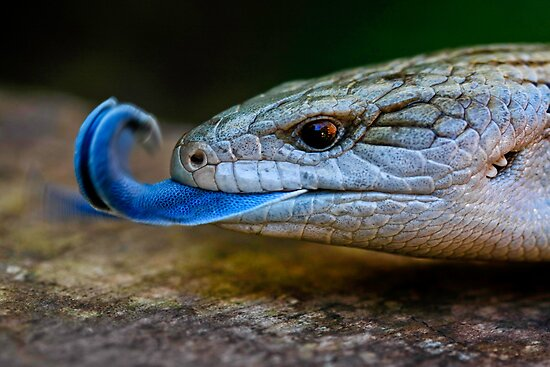 Blue-tongued Lizard  (Tiliqua scincoides scincoides) by Normf