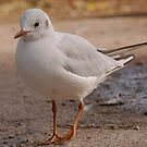 Black Headed Gull by Alexa Pereira