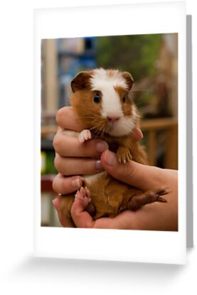 Handful of Baby Guinea Pig by ArianaMurphy