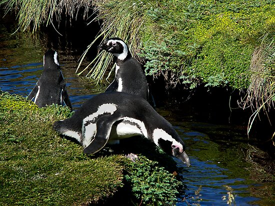 Magellanic Penguins ~ Punta Arenas, Chile by Lucinda Walter