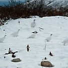 Ptarmigan in Winter Coats by Sally Winter