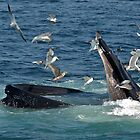 Humpback (Bubble net feeding) by main1