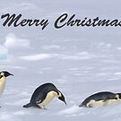 Emperor Penguins 13 - Merry Christmas Card by Steve Bulford