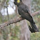 Yellow Tailed Black Cockatoo (Female)  by Kim Roper