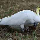 Sulphur crested cockatoo by Denzil
