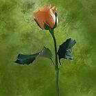 One rose by Joyce Knorz