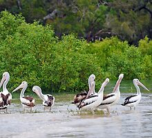 Australian Pelicans At The Burrum River, Burrum Heads. Queensland, Australia.  by Ralph de Zilva