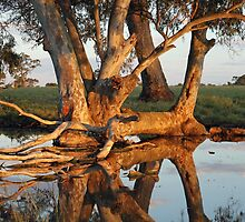 Red gum reflections by Nick Hunt