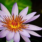 water lily from the tropics by Gerry Daniel