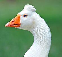 Crested Goose.  Gympie, Queensland, Australia by Ralph de Zilva