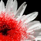 red gerbera with rain drops by Francesco Malpensi