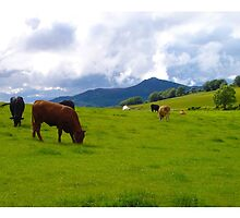 Beef Cattle Grazing by R John Hughes