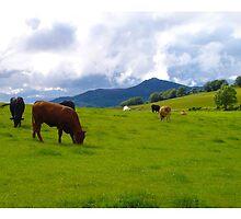 Beef Cattle Grazing by R John Hughes