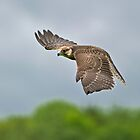 Lanner Falcon in Flight by Daniel  Parent