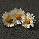 Daisy Trio by vbk70