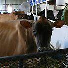 Whatcom County Fair Cow by rferrisx