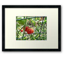 Tomatoes on the vine... Framed Print