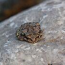 Common Gray Treefrog by eegibson