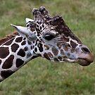 Male Giraffe Eatting by eegibson