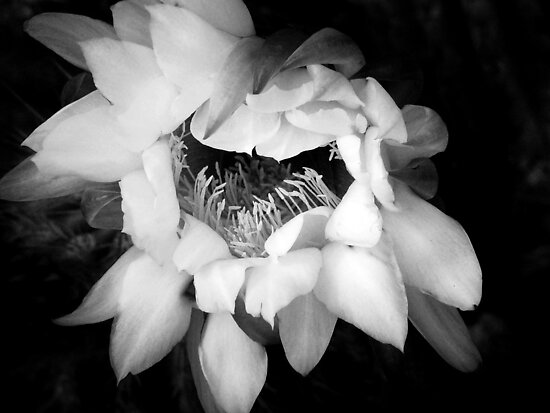 Awakening ~ Black & White by Lucinda Walter