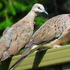 A Couple of Birds! Spotted Turtle-Doves #1A - Nov 2010 by tmac
