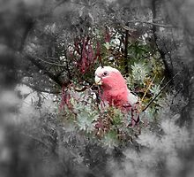 galah by fazza