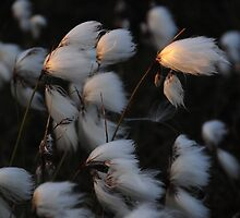 Wool Grass in evening light by Karin  Funke