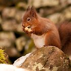 red squirrel  tearing off the wrapper by Grandalf