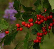 Chokeberries by perpetualphoto