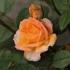 Orange Blush by GTRProductions