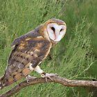 Barn Owl ~ Captive by Kimberly Chadwick