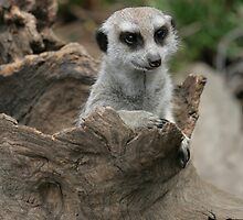 Just Popped Up to say Hello, Meerkat by TimLloyd