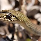 Yellow Faced Whipsnake by Steve Bullock